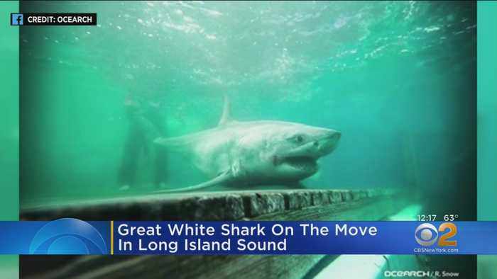 Great White Shark On The Move Off Long Island