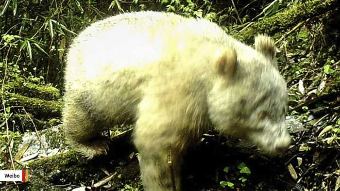Rare Albino Panda Has Been Spotted In China