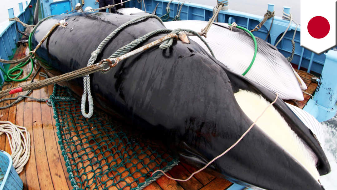 Japan to resume commercial whaling despite global outcry