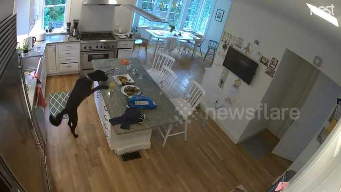 US security camera catches sneaky dog stealing chicken from table