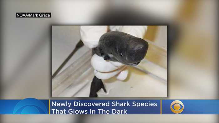 Scientists Discover New Species Of Shark That Glows In The Dark