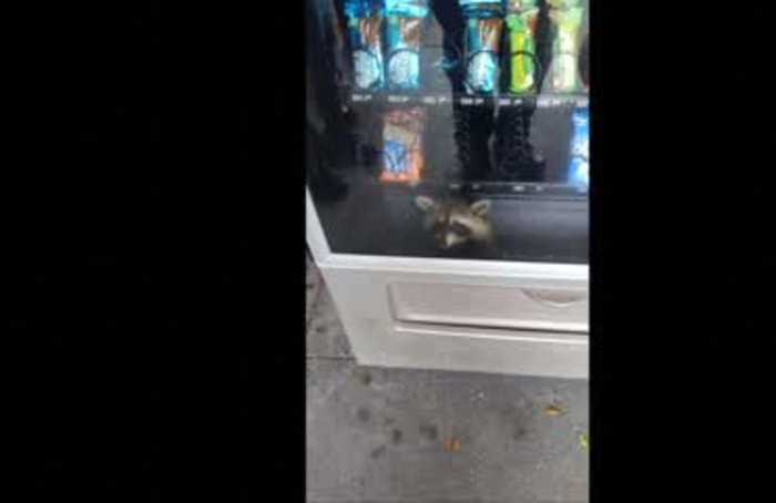 Raccoon robber gets stuck inside vending machine