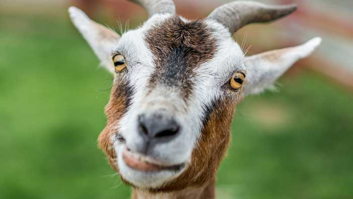 Portugal Is Using Goats To Prevent Wildfires, But There's A Catch