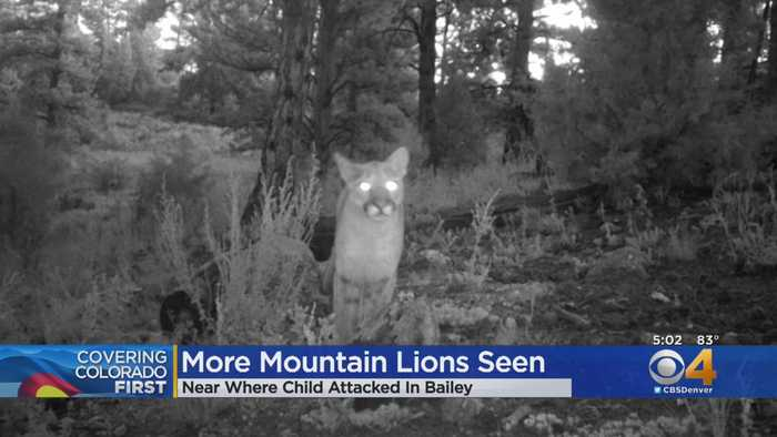 More Mountain Lions Captured On Camera Near Attack Site