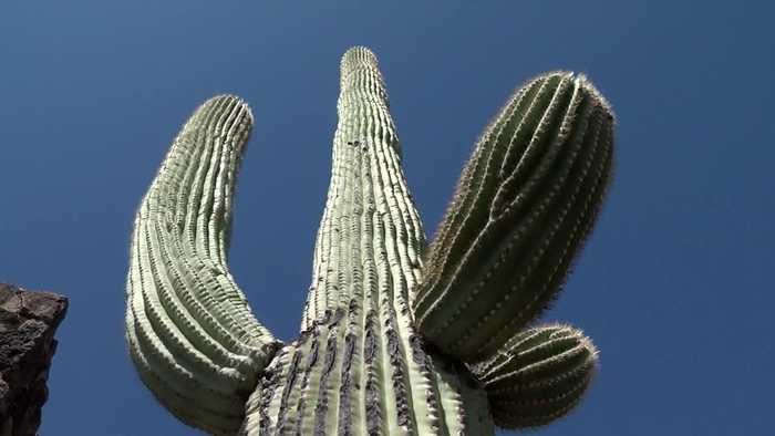 Topography could save saguaros