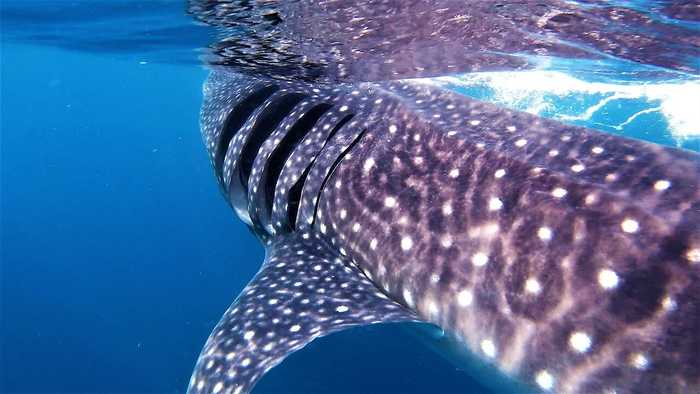 Photographer has once in a lifetime swim with giant whale shark
