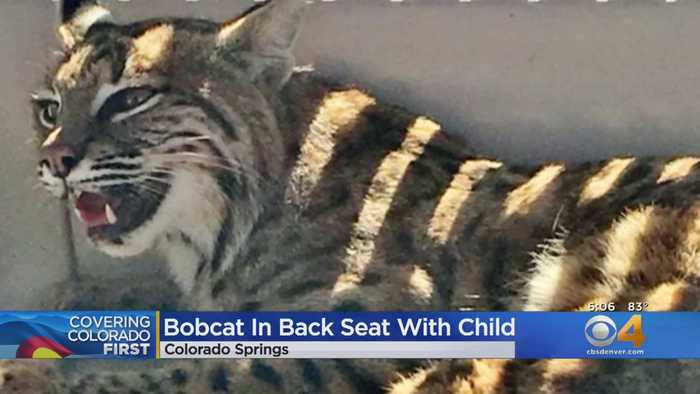 Colorado Springs Woman Picks Up Injured Bobcat With Child In The Car