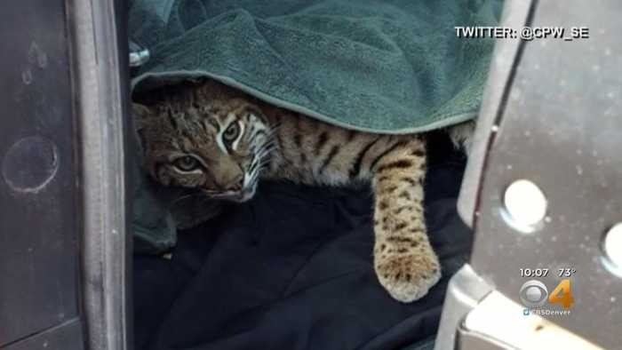 Woman Finds Injured Bobcat, Puts Animal In SUV With Child