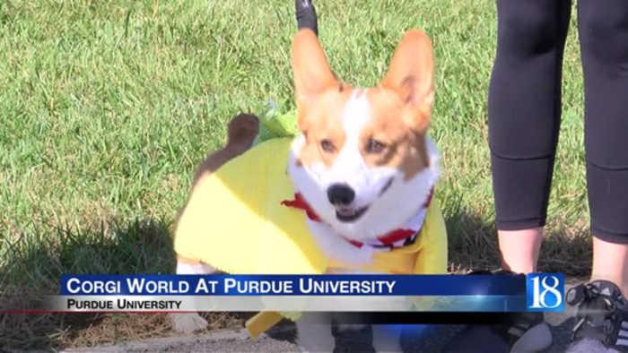 Corgi World at Purdue University