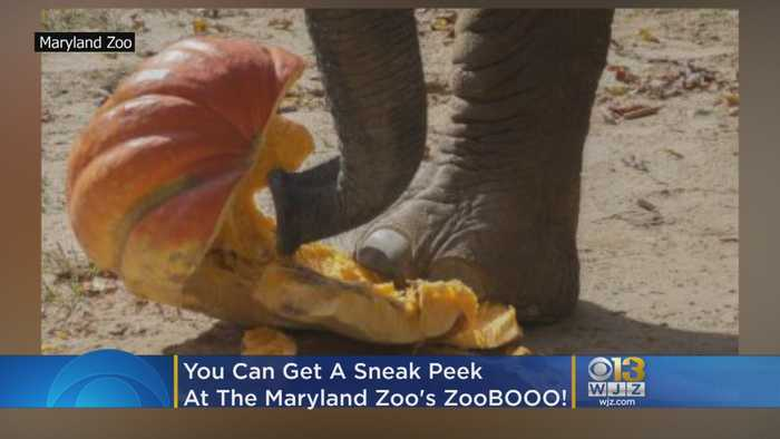 You Can Get A Sneak Peek At The Elephant Pumpkin Smash For The Maryland Zoo's ZooBOOO!