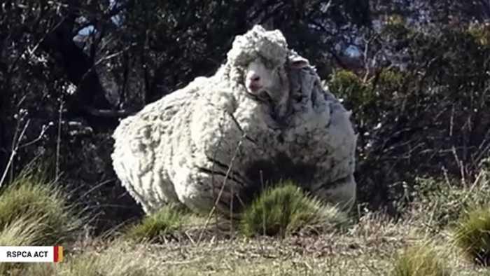 The 'World's Wooliest Sheep' Dies