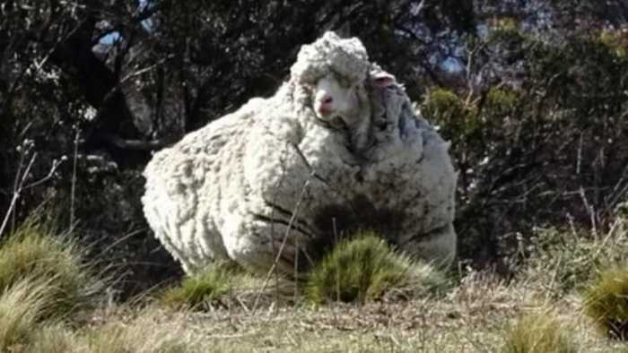 The 'World's Wooliest Sheep' Dies
