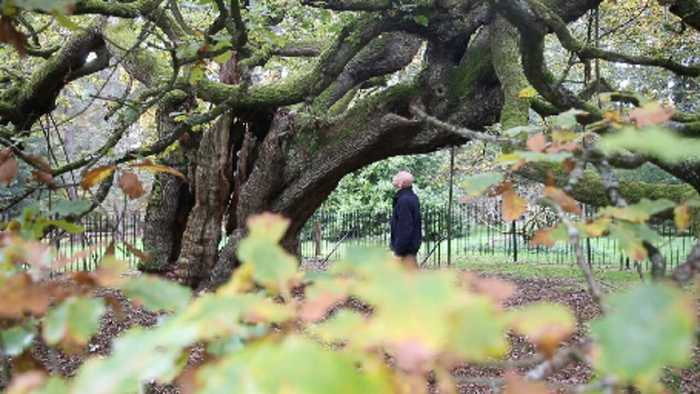 MAJESTIC OAK WHICH COULD BE MORE THAN 1,000 YEARS OLD AND WAS CLIMBED BY JOHN LENNON CROWNED ENGLAND'S TREE OF THE YEAR – AN