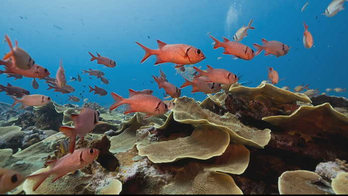 Could 'Super Corals' help save the world's reefs?