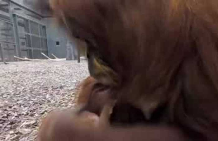 Rare baby orangutan joins family at UK zoo