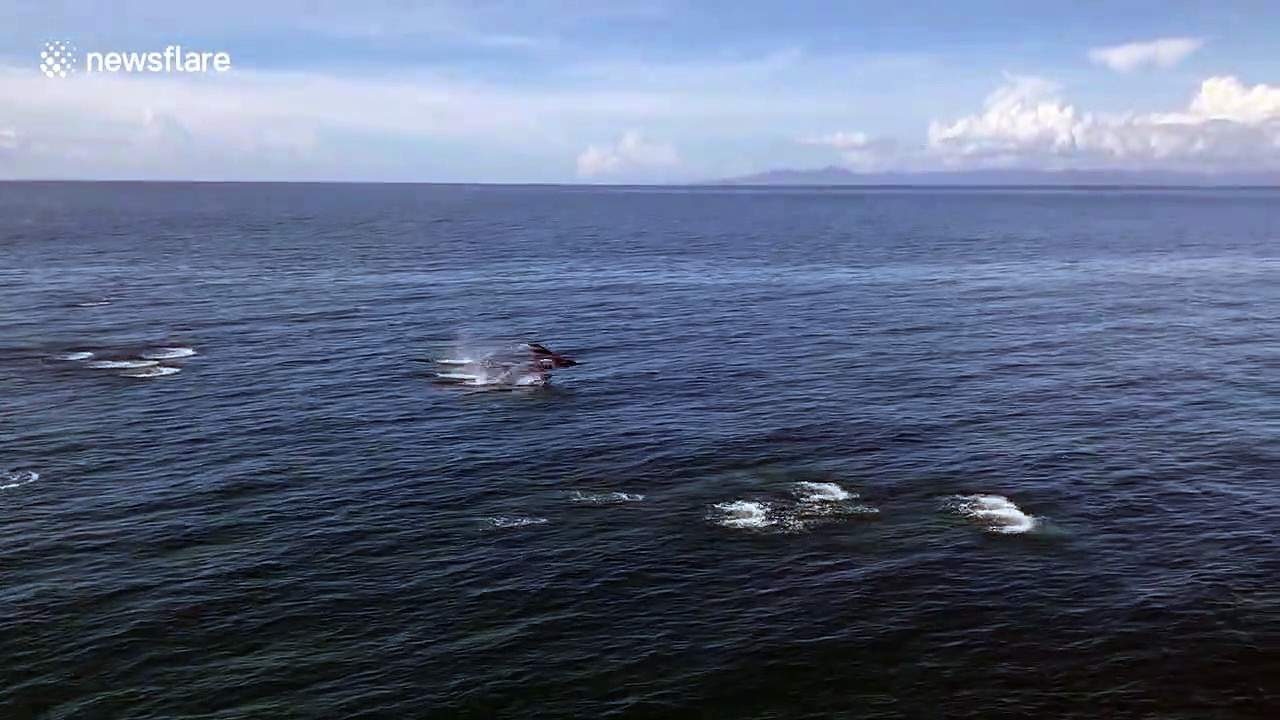 Pod of dolphins swim alongside boat in the Philippines