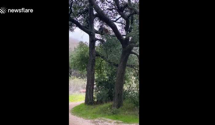 Mountain lion spotted carrying backpack of child it attacked in California wilderness park