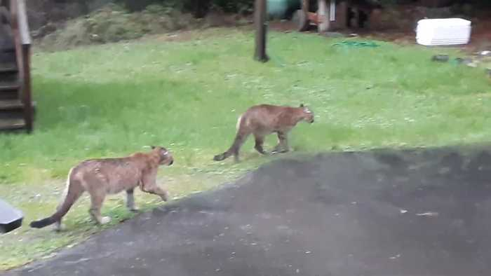 Two Mountain Lions Walk Through Yard
