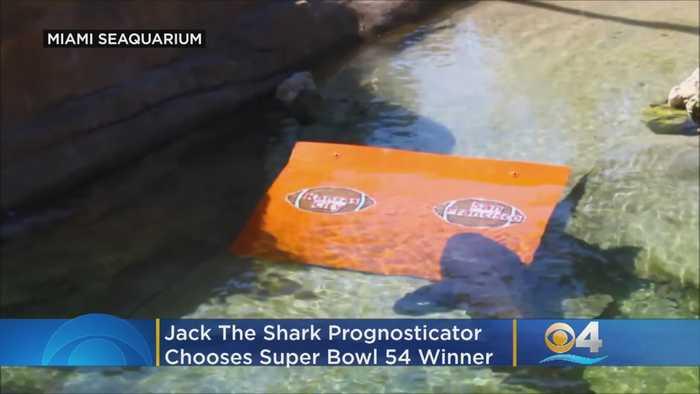 Jack The Shark Prognosticator Chooses Super Bowl Victor