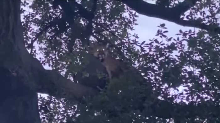 Mountain lion attacks 3-year-old in California park
