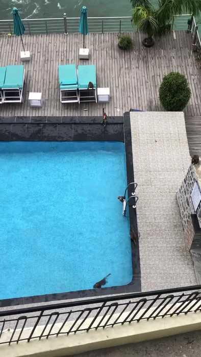 Monkey Antics in the Pool