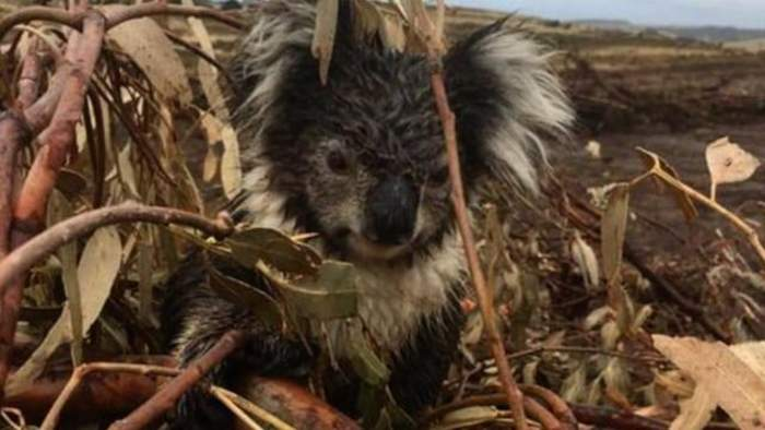 Koalas Reportedly Killed In 'Massacre' On Australia's Logging Plantation