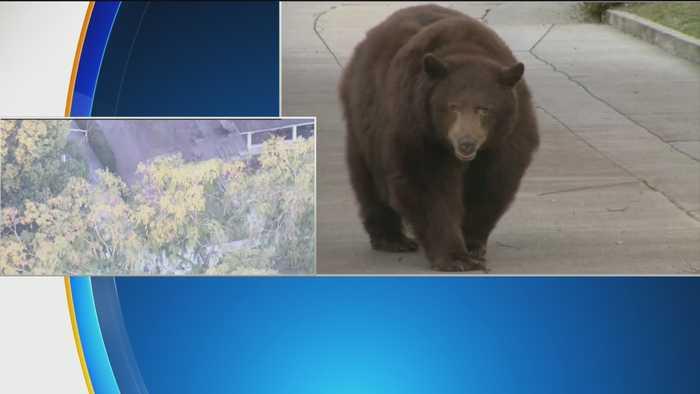 Large Bear Meanders Monrovia Neighborhood