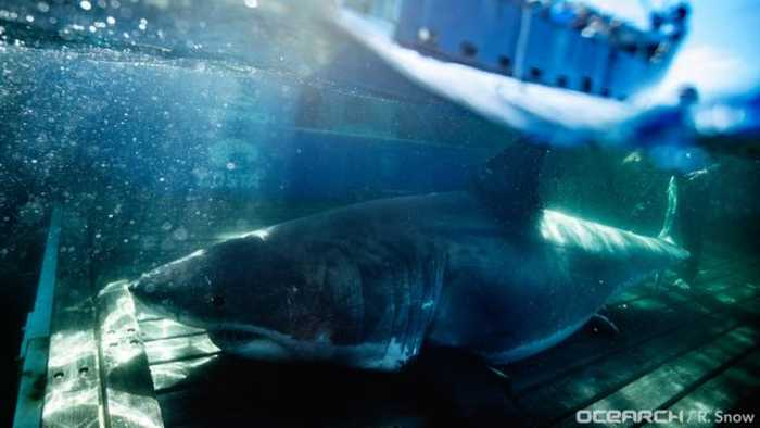 2,000-Pound Great White Shark Shows Up Near New Orleans Just In Time For Mardi Gras