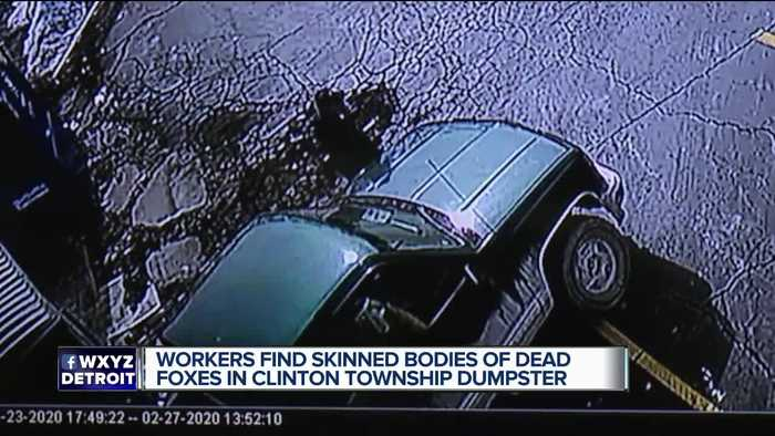 Police searching for man who left dead, skinned foxes in Clinton Township dumpster