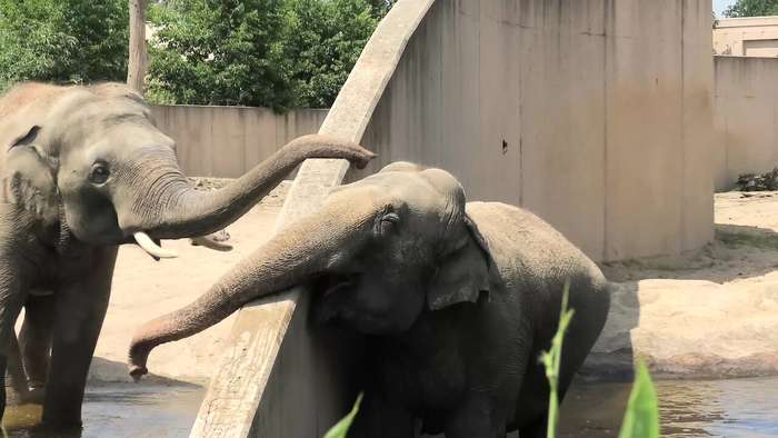 Elephant uses trunk to make contact with buddy on other side of wall