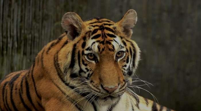 Tiger at New York Zoo Tests Positive for Coronavirus