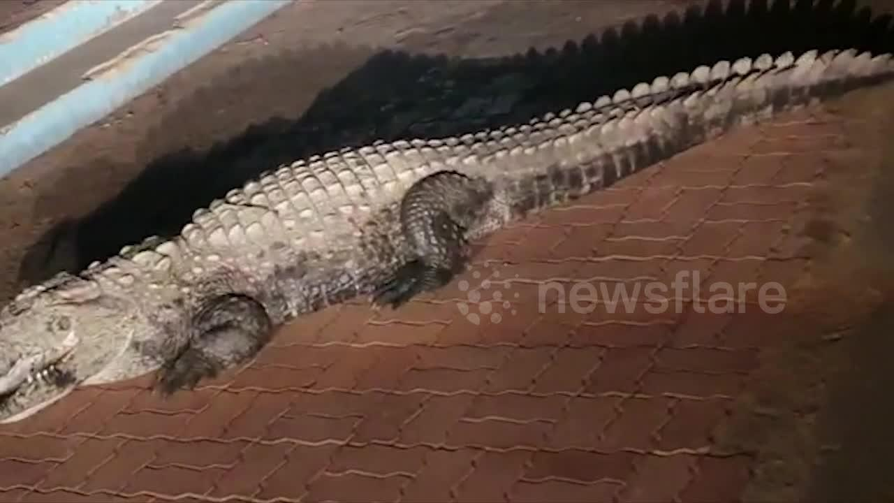 Massive crocodile goes for a night walk amid India's COVID-19 lockdown