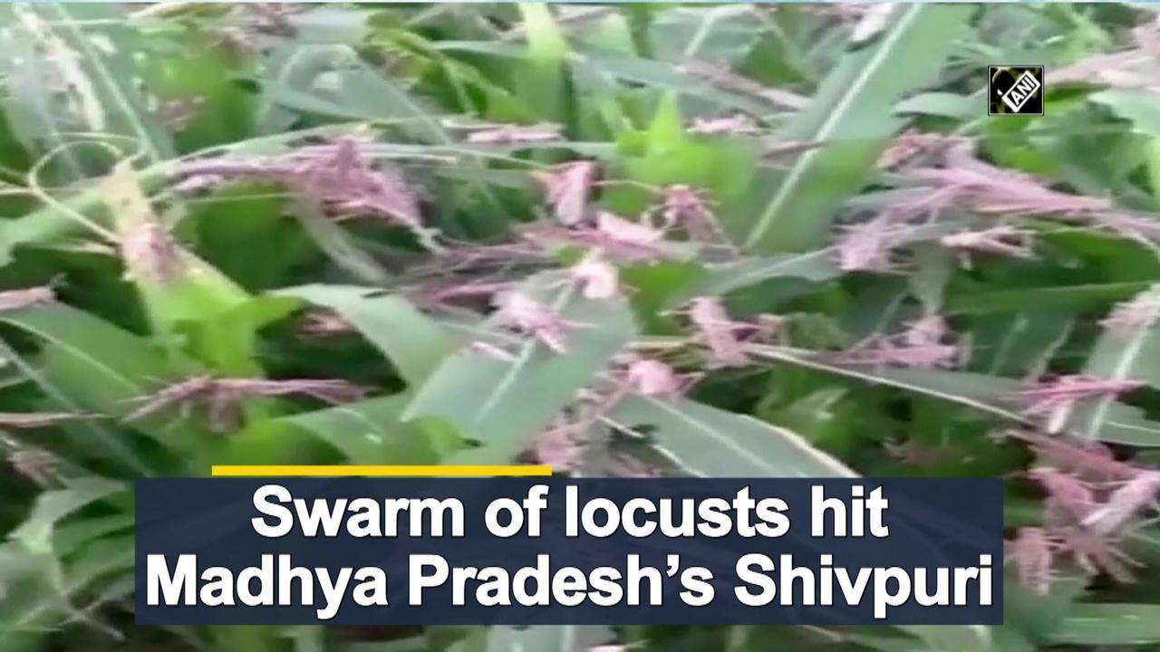 Swarm of locusts hit Madhya Pradesh's Shivpuri