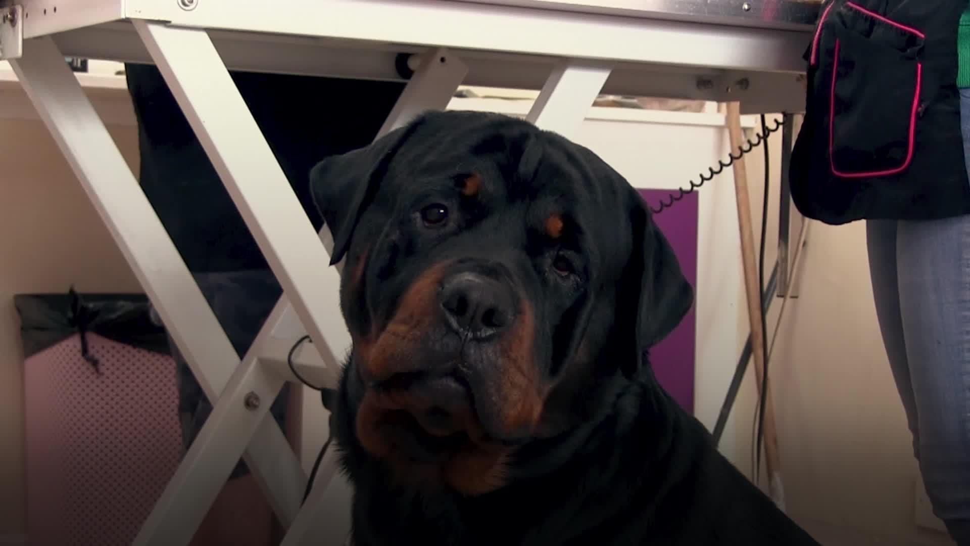 Dogs shorn of lockdown locks as groomers resume business