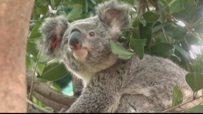 Australia koalas 'on verge of extinction'