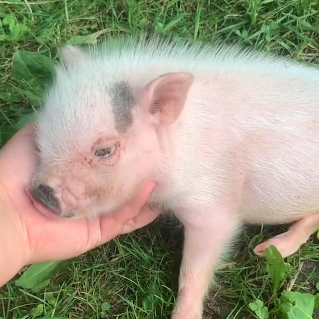 Abandoned Pigs Are Rescued At This Animal