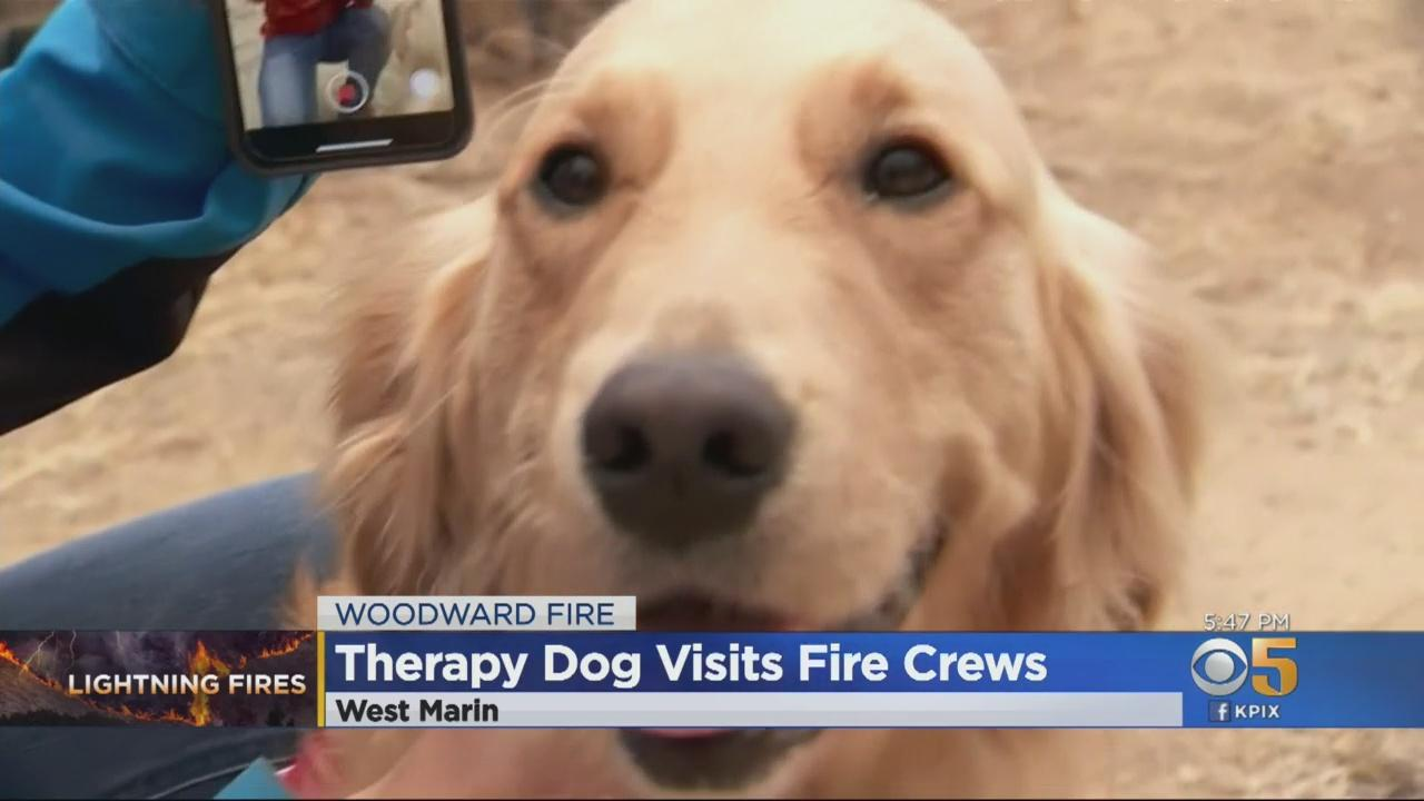 Kerith The Golden Retriever Comforts Firefighters Battling Woodward Fire In Marin County