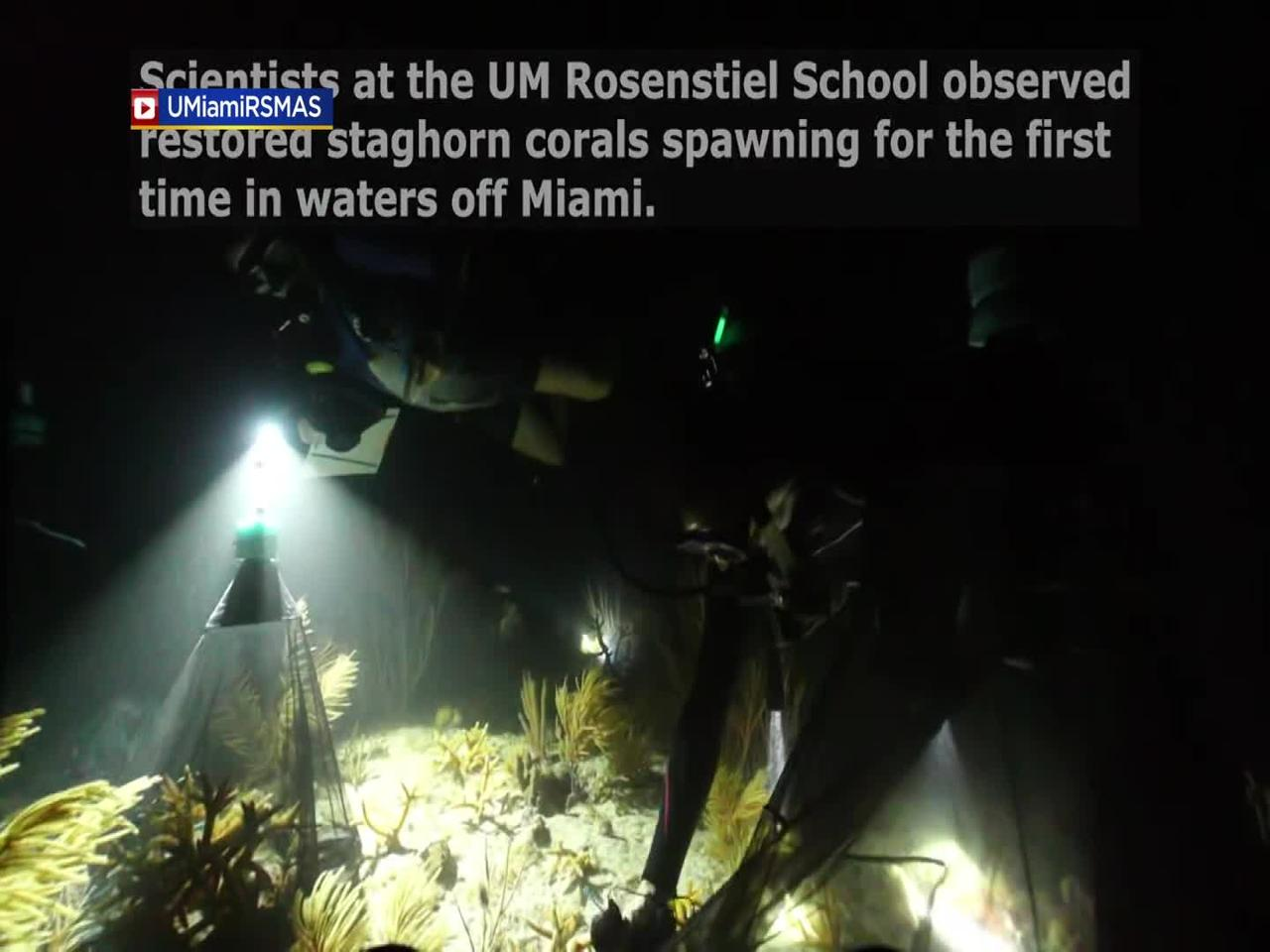 WEB EXTRA: Restored Corals Observed Spawning for the First Time in Waters Off Miami