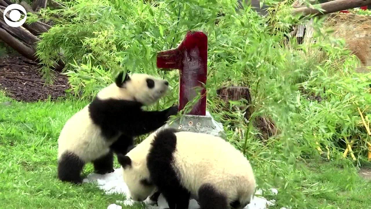 WEB EXTRA: Panda Twins Celebrate First Birthday
