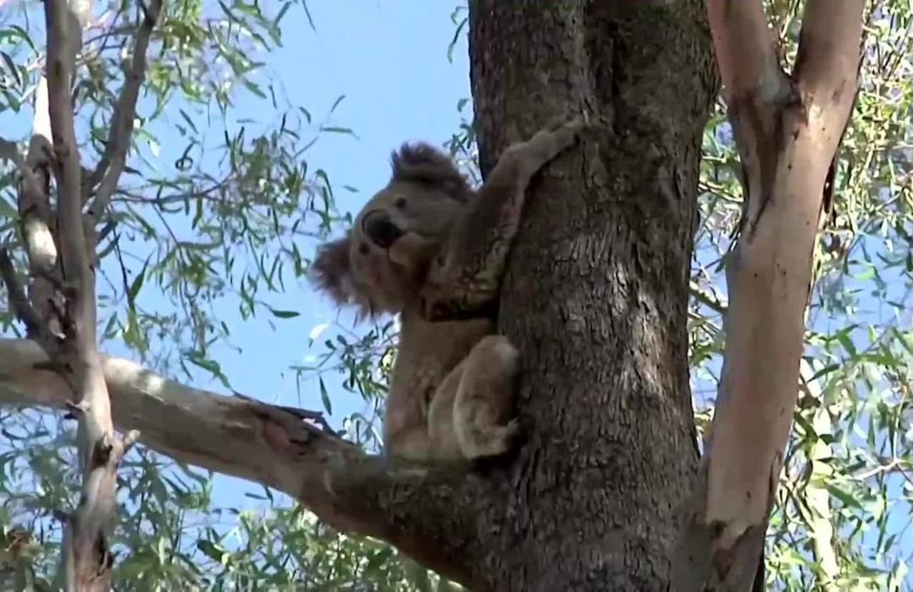 Australian politicians are at war over koalas
