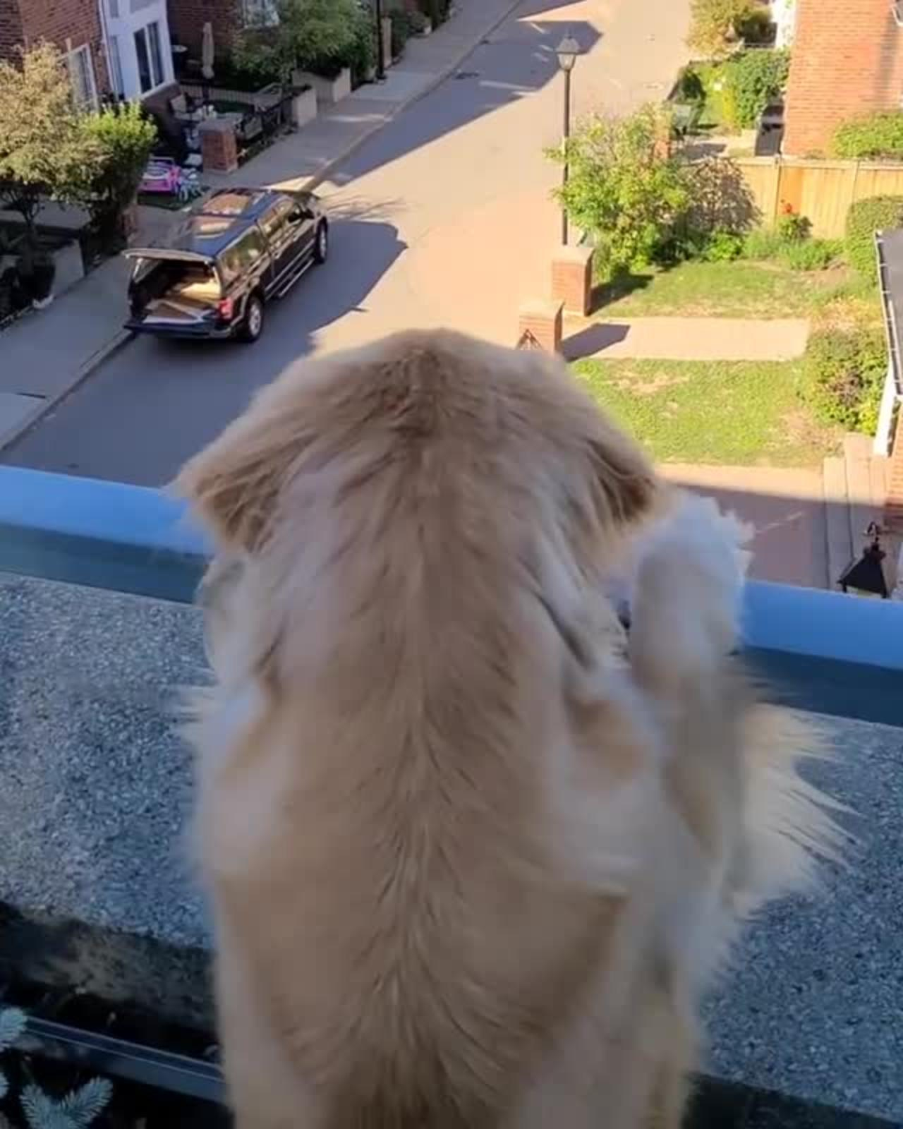 Golden retriever watches from balcony as owner goes for ride without him