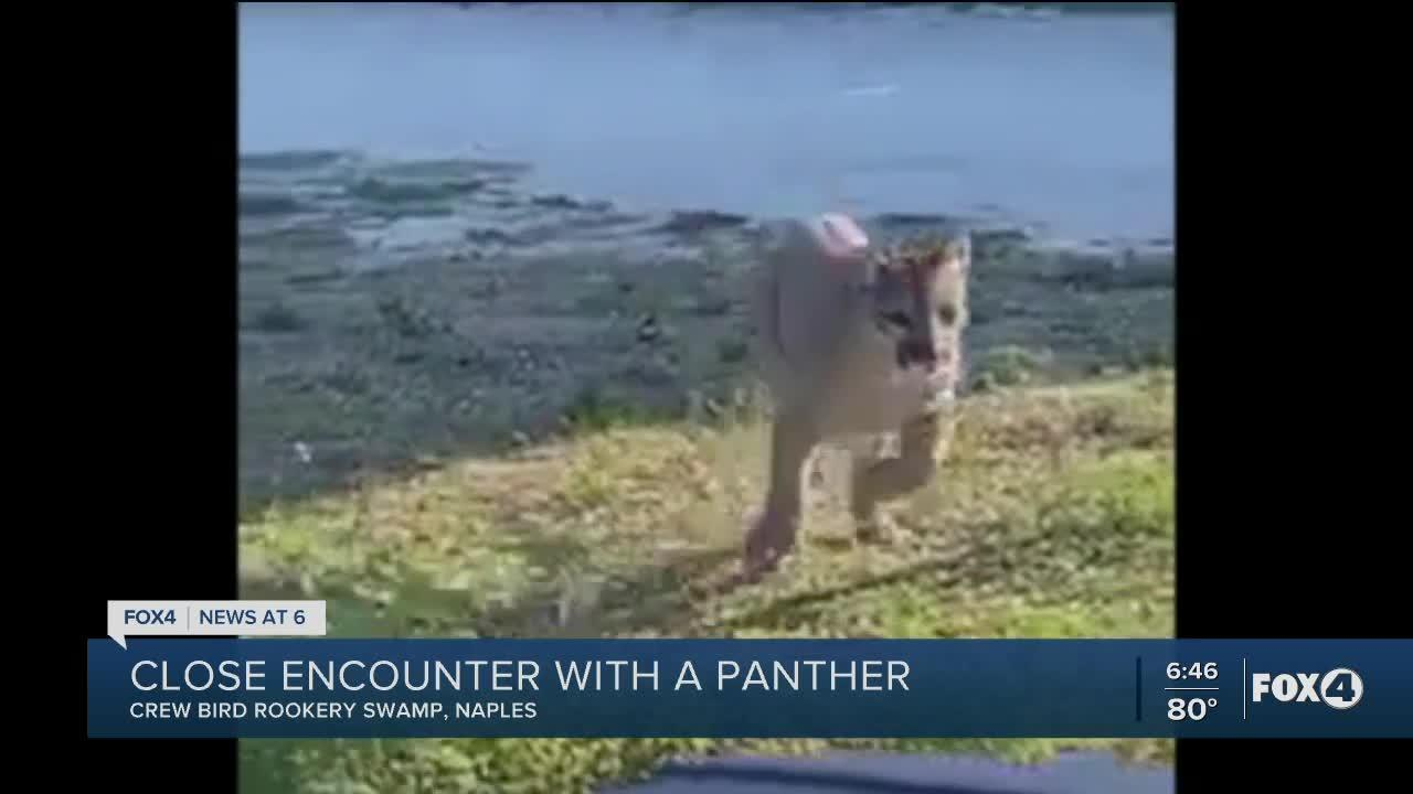 Panther spotted in Naples