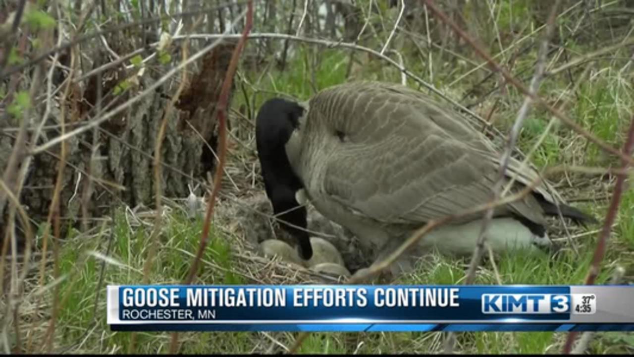 Goose Mitigation Efforts Continue