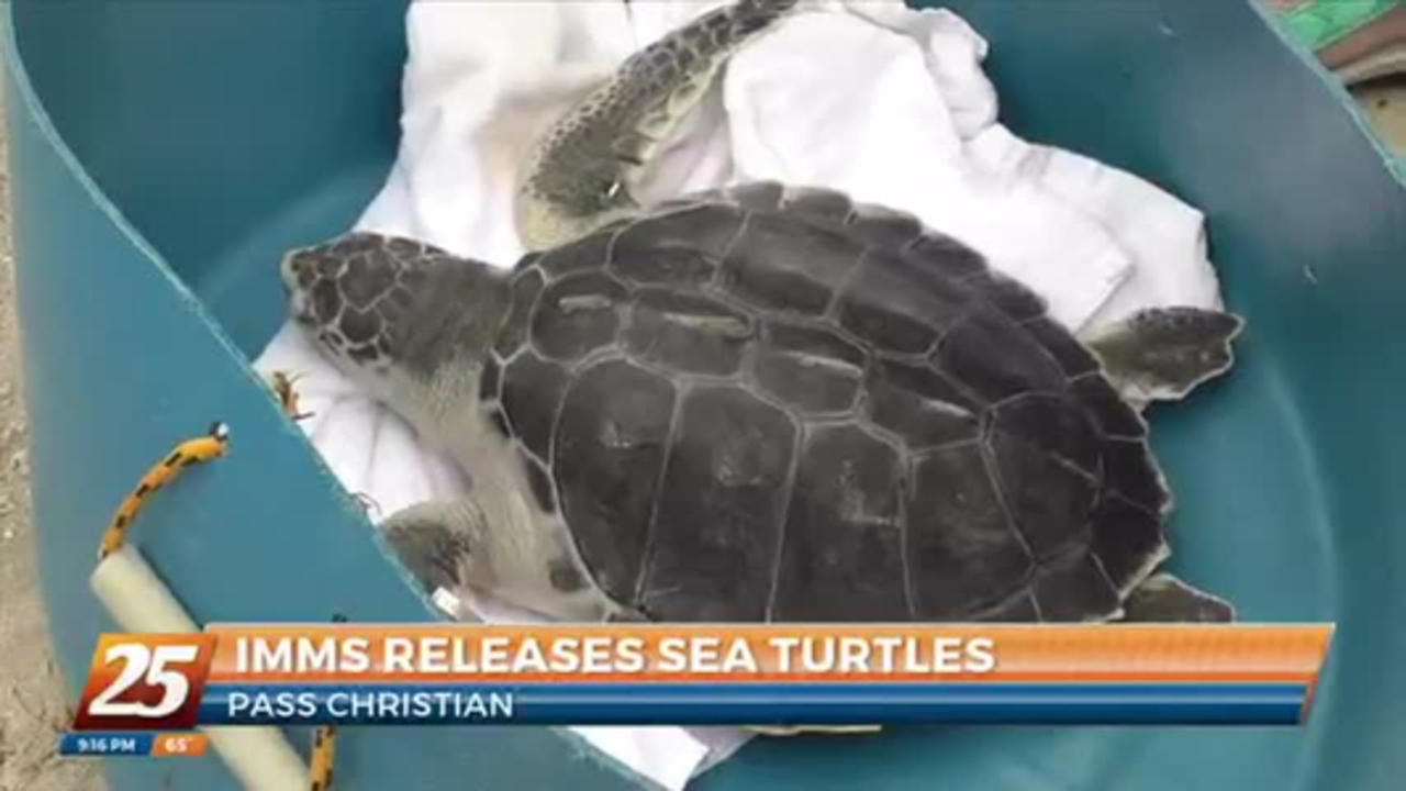 IMMS releases rehabilitated sea turtles back into the ocean