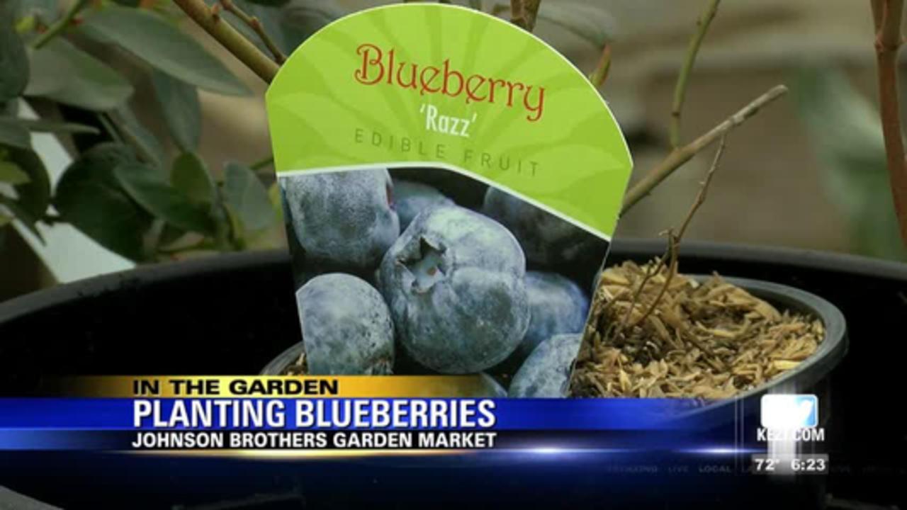 In The Garden: Planting blueberries