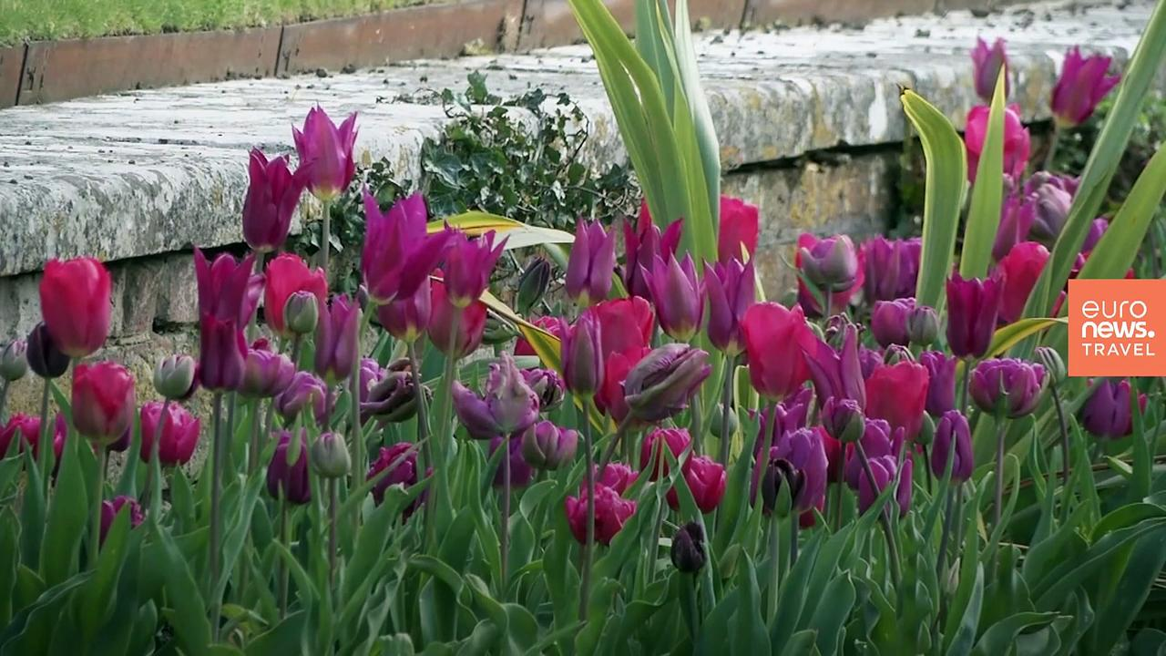 Stunning tulips bloom for the first time at London's Hampton Court Palace