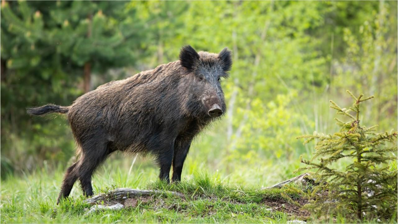 A Wild Boar With Blue Fat Was Discovered by a Hunter