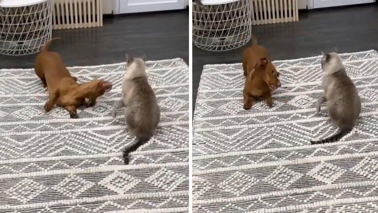 Dachshund desperately wants to befriend kitty cat