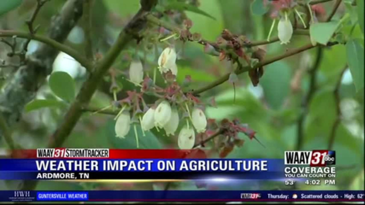 Cold temperatures may hurt blueberry farms in North Alabama