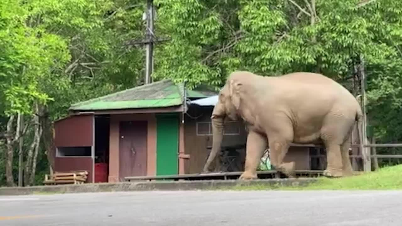 Wild elephant reaches into coffee shop with its trunk in Thailand